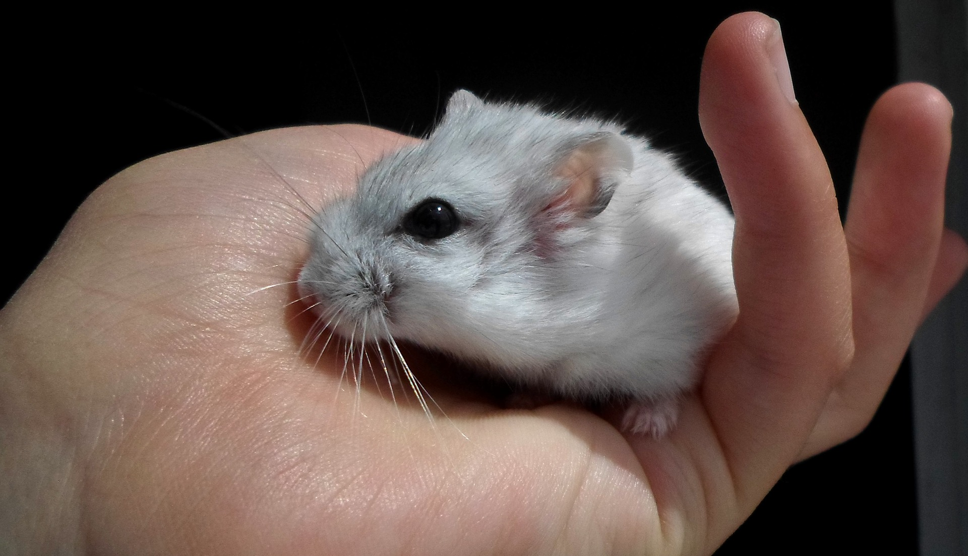 How Long Do Russian Dwarf Hamsters Live?