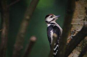 The Complete Guide to British Woodpeckers
