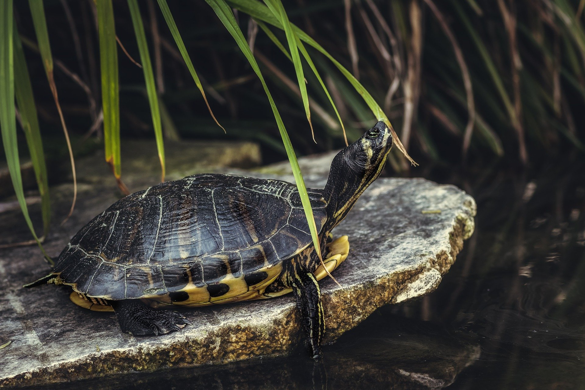 Can Tortoises and Turtles Live Without Their Shell?
