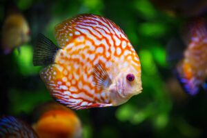 What is a Pregnant Fish called?
