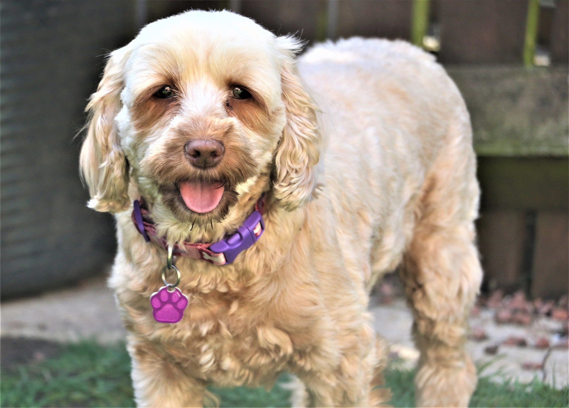 What Is The Best Harness For Your Cockapoo?